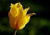 One Yellow Tulip From My Neighbor's Garden.