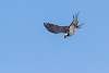 The Osprey Were Active Today