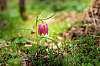 Molten tulip from Zamostea