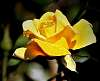 One Lovely, Yellow Rose.  A Sign of Friendship.