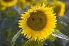 Sunflower Emoj