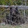 Bear-ly Hidden in the Bushes...