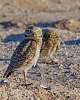 Burrowing Owls, Mated Pair