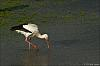 """White storks and a blue heron with the Meyer Optik """"Telemegor"""" 400mm/f5.6 (7pics)"""