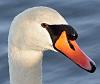 swan portrait...
