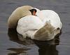 swan siesta