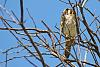 American Kestrel having lunch