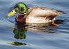 reflections of a duck....