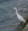 Snowy Egret in HK (BIF) with DA200mm