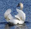 swan plumage