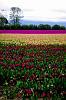 Skagit Valley Tulip Fields - 2010
