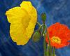 Photo of the Week - Poppy Blooms