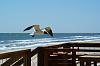 Finally . . . . Some Gulls in Flight
