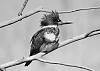 BW Kingfisher