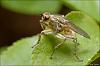 Yellow dung fly (Vivitar 55/2.8 1:1 macro + macro flash diffuser)