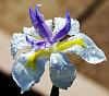 Raindrops on an Iris