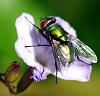 Another Greenbottle Blow Fly