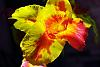 The Red and Yellow Canna