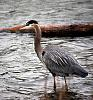 'nuther heron