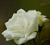 White rose, not perfect