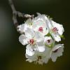 Flowering pear blooms