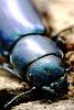 Pearlescent beetle