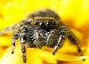 Jumping spider among a sea of yellow