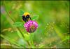 A bumble bee and his flower..