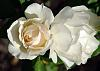 A Pair of White Roses.