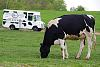 Cow and Milk Truck
