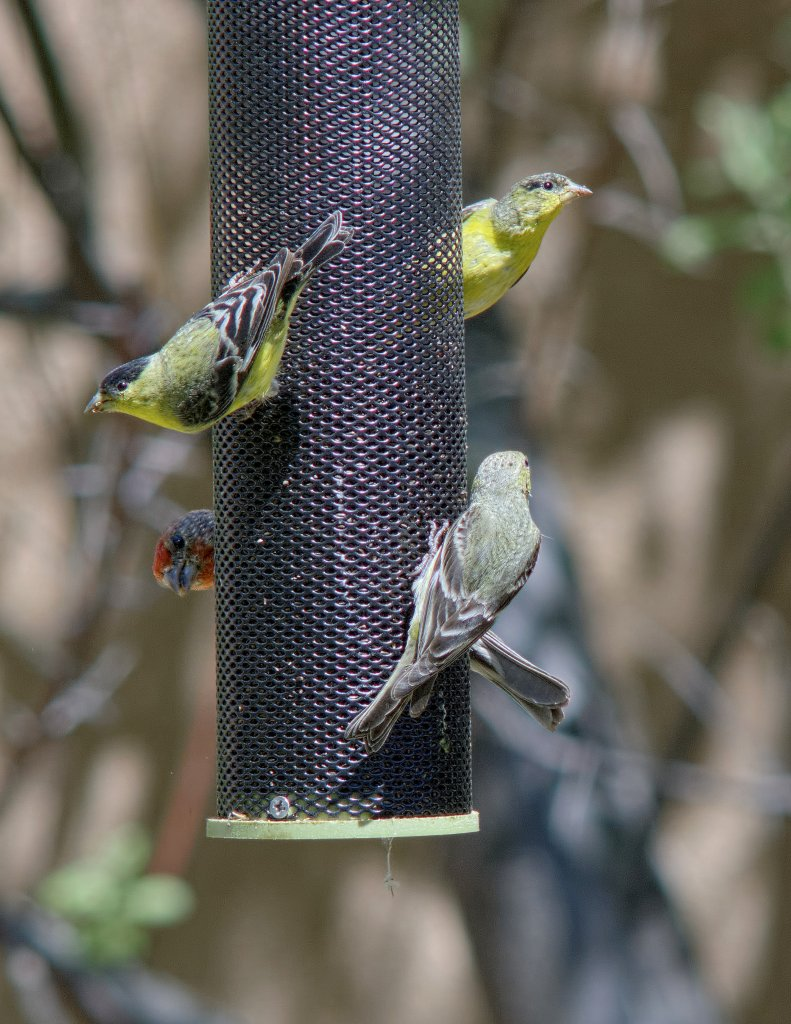 """New"" lens (smc K 500/4.5) and a crowd of finches"