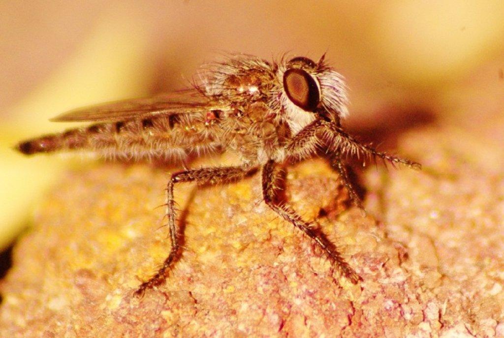Macro-Robber Fly