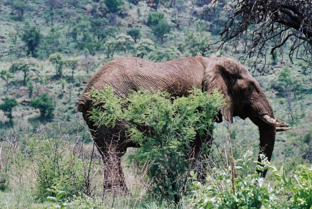 Tailless elephant