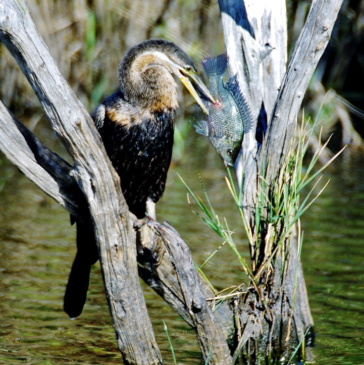 Darter with fish