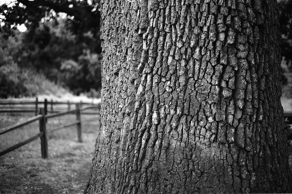 Fort Tejon California State Historic Park Kodak BW400CN, Pentax Super Program, SMC Pentax-A 50mm F1.7(pretty sure).  Settings unrecorded. Scanned with a Canon Canoscan 4200f flatbed at 3200spi.  Big oak tree to the northwest of the split rail fence outlining the band's quarters. Minor sharpening and dust removal in Photoshop.