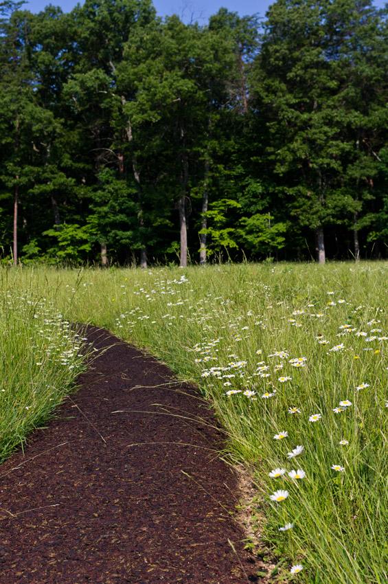 daisies along Wilderness battlefield trail