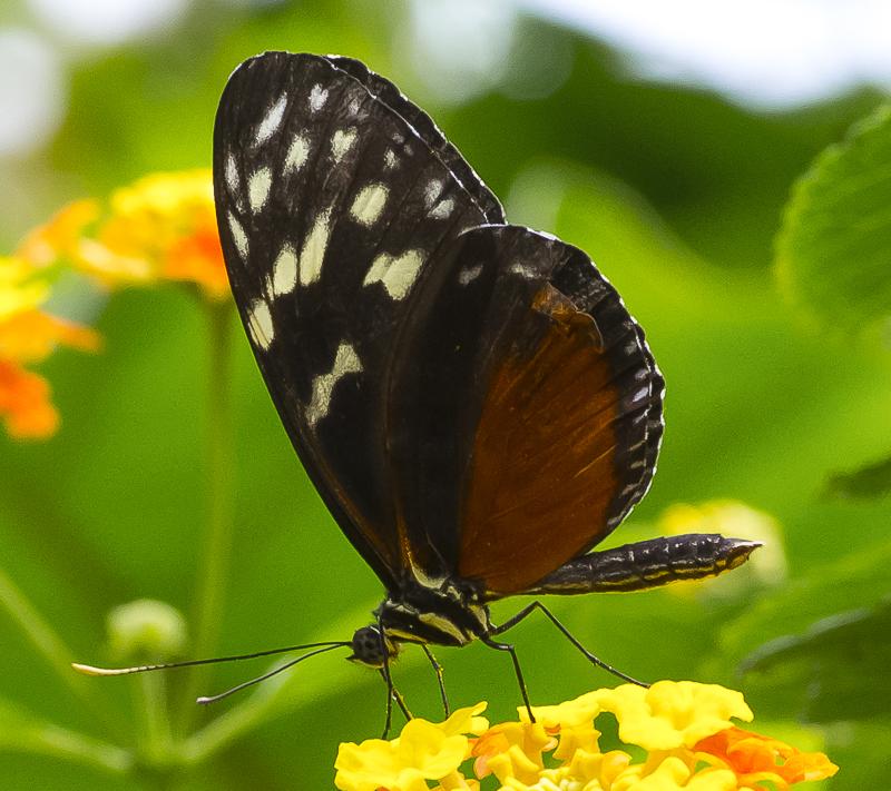 FPC brnz&blk butterfly