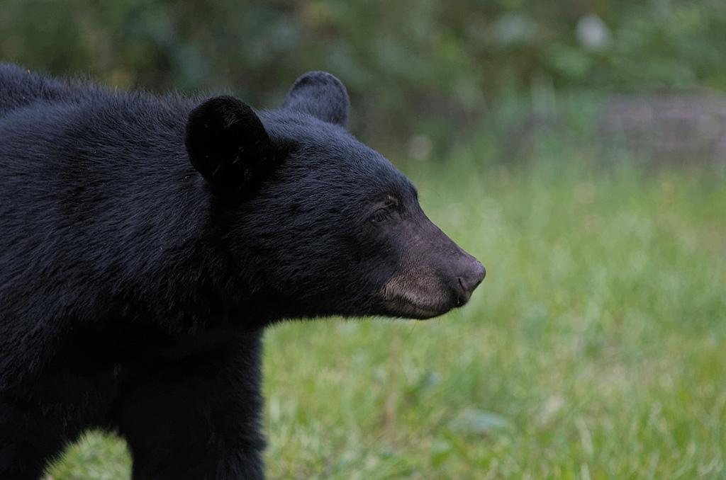 bear IMGP2353 DxO
