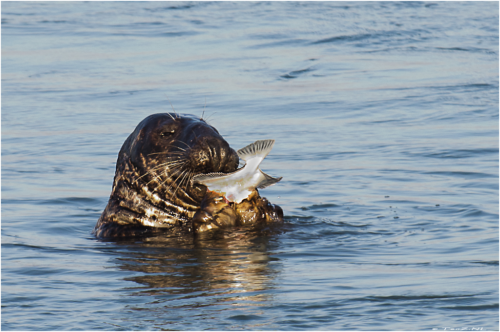 Gotcha! Wild common seal hunting and eating just in front of me.   The Netherlands