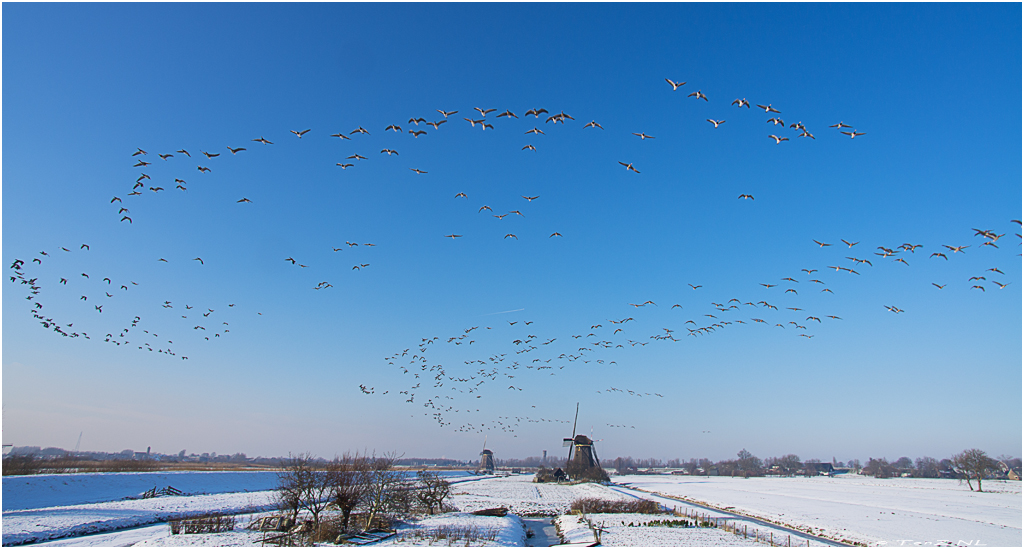 Sky filled with geese Kinderdijk, the Netherlands