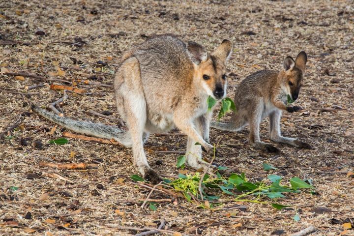 3 - Red-necked wallaby with young eating kurrajong leaves