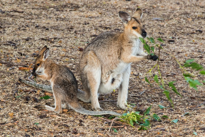2 - Red-necked wallaby with young eating kurrajong leaves