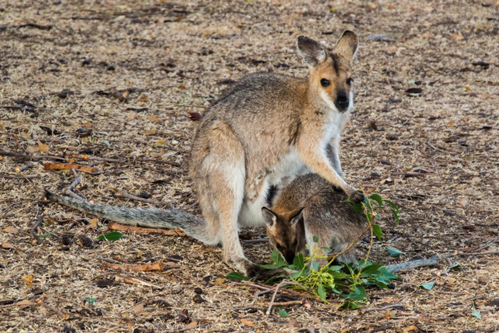 1 - Red-necked wallaby with young coming for their daily ration of kurrajong leaves