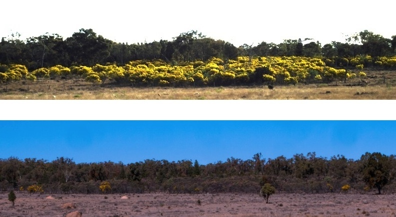 Wattle at Mosquito Creek - in a normal year and in the 2018 drought. The brownish areas are dead and dying wattle and eucalypts.