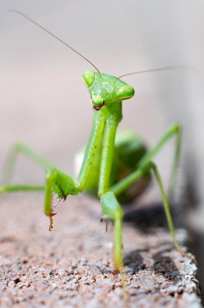 how to say praying mantis in spanish