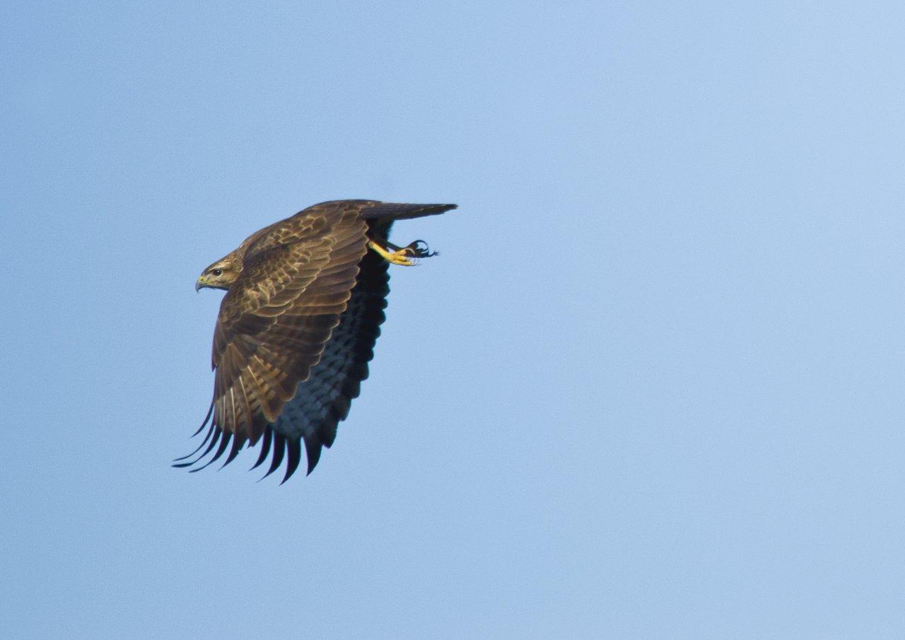 Hawk (buteo buteo - common buzzard)