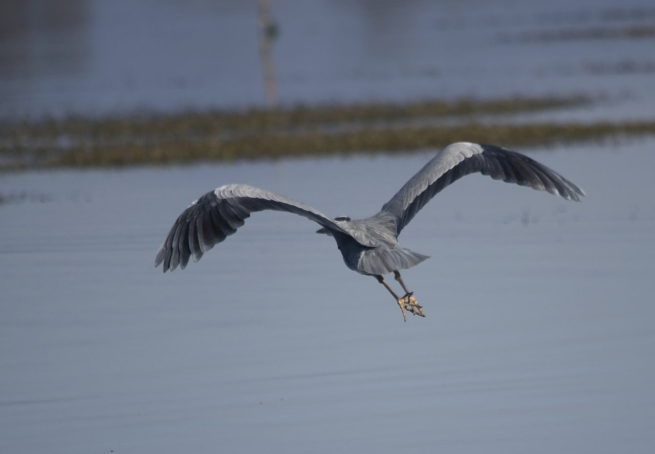 Grey egret (ardea cinerea)