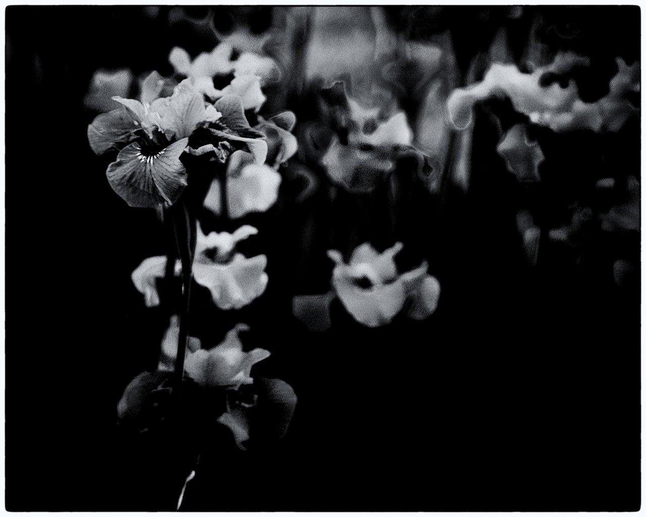 Black and White Iris