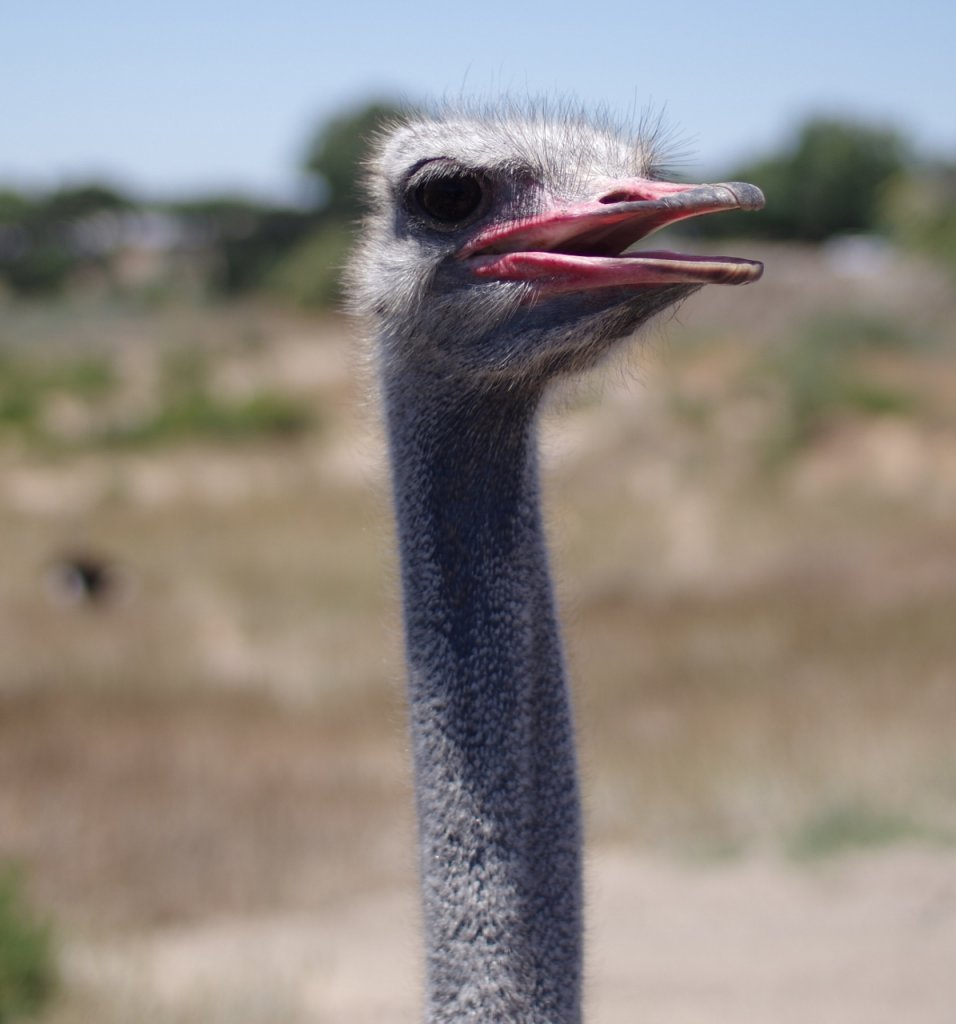 Ostrich - Sigma 30mm @ F1.4