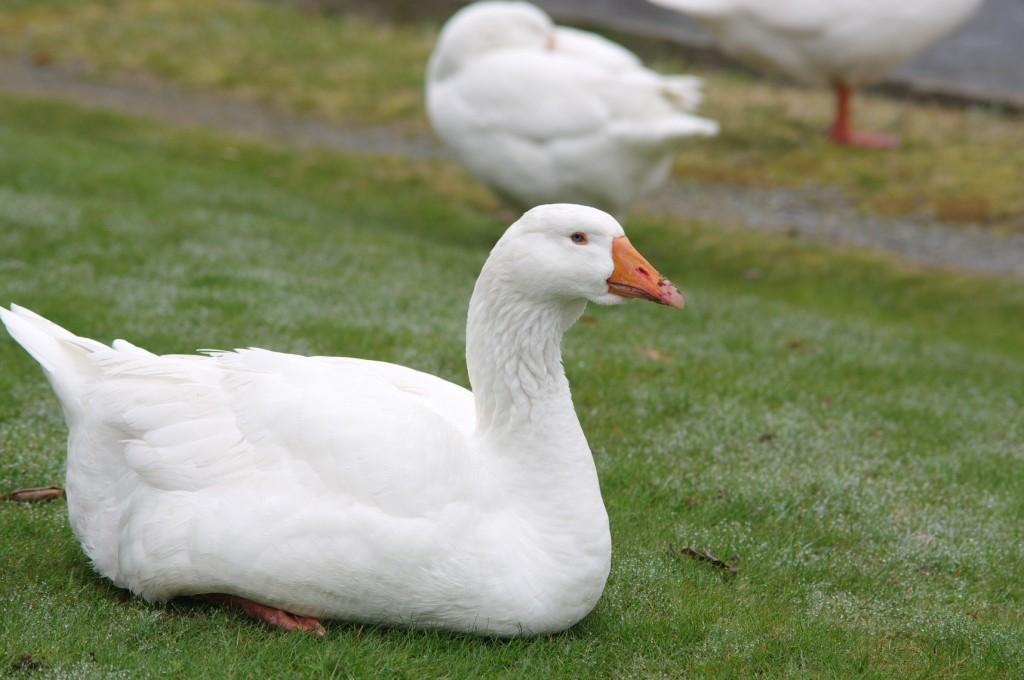 Sullivan's Pond goose